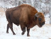pic of aurochs  - Bison winter day in the snow nature - JPG