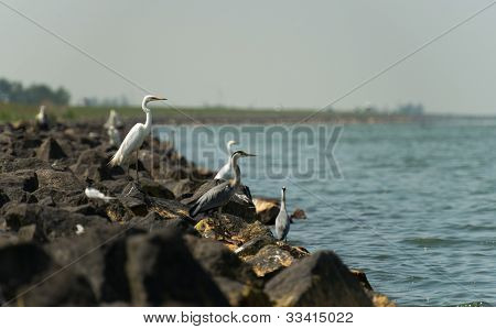 Egrets looking for food in spring