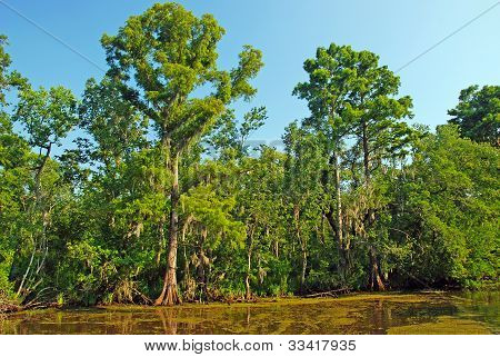 Cypress Trees In The Bayou