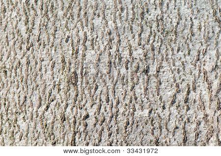 Beech bark texture