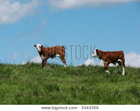 Calf Pair