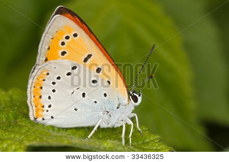 Lycaena dispar / large copper butterfly, male
