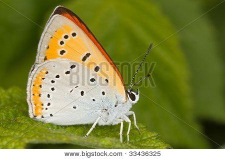 Lycaena dispar / large copper butterfly, male