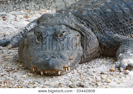Alligator close up