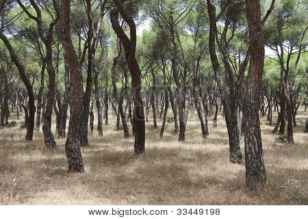The Forest From Pines