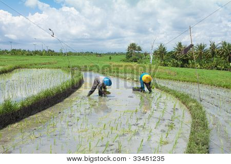 Rice Farming In Bali