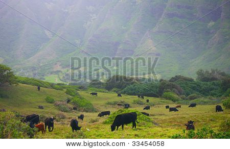 Cows in Pasture, Kaaawa Valley, Hawaii