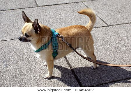 chiwawa on a lead