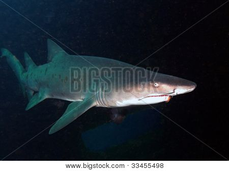 Sandtiger Shark On Shipwreck