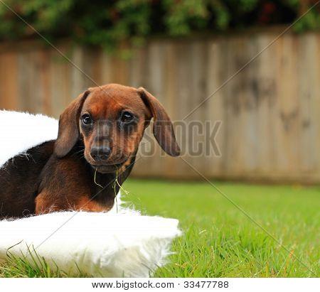 Wiener Dog Puppy