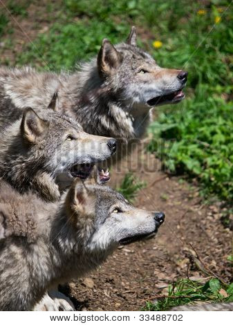 Grey Wolves Pack Looking Up