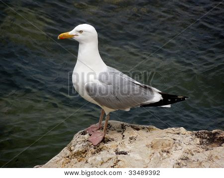Seagull Atop rock