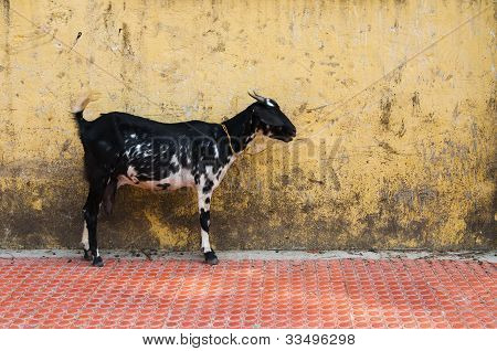 Young Goat Over Grunge Yellow Wall