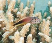 foto of hawkfish  - Forsters hawkfish perched on some tropical hard coral reef with mouth open - JPG
