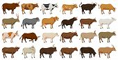 Cow Of Animal Vector Cartoon Set Icon.isolated Cartoon Icon Farm Animal Of Cow.vector Illustration C poster