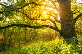 Beautiful Sunset Sunrise Sun Sunshine In Sunny Autumn Oak Forest. Sunlight Sunbeams Through Woods Tr poster