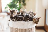 Cat breeding in home. Young Bengal kittens in a basket. Cute pets poster