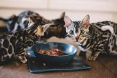 Young Bengal kittens eating together. Cat breeding in home. Cute pets poster