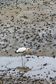 A Milky Stork, An Endangered Species,  Hunting For Food In The Stream Of A Mud Flat In Sungei Buloh  poster