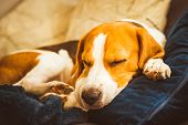 Adorable Beagle Dog Sleeping On Couch. Canine Background. Lazy Rainy Day On Couch poster