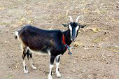 Domestic Goat On A Pasture. Black Goat On A Pasture. Goat On The Ground. poster
