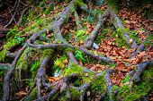 tree roots in green moss and autumn leaves - abstract natural background poster