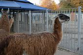 Llamas In Their Zoo In The Zoo.llamas In Their Zoo In The Zoo poster