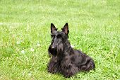 picture of scottish terrier  - black Scottish terrier on background of the herb - JPG