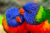 stock photo of lorikeets  - This shot of the Lorikeet parrots were taken in Denver - JPG