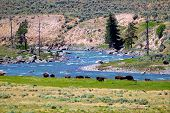 stock photo of lamar  - Herd of Bison along the banks of the Lamar River in Yellowstone National Park - JPG