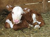 picture of hereford  - A newborn Hereford Heifer calf laying in hay in a pen - JPG