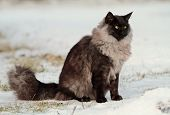 A Norwegian Forest Cat Male With Bright Orange Eyes Sitting In Snow poster