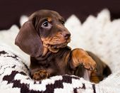 Dachshund dogs, brown tan colors poster