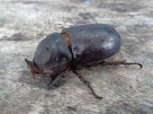 Asiatic Rhinoceros Beetle Close Up With Natural Background poster