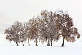 Winter Landscape - Snowy Trees With Autumn Leaves On Field Under Falling Snow. Winter Snowy Scene Wi poster