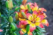 Colorful Lily Flower. Beautiful Lily Flower In Lily Flower Garden. Lily Lilium Hybrids Flower. Lily  poster