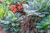 Variegated Plants. Decorative Plant With Variegated Plants. Colorful Variegated Plants. Colorful Var poster