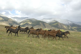 stock photo of wild horse running  - Horses stampede by Montana foothills to avoid roundup - JPG