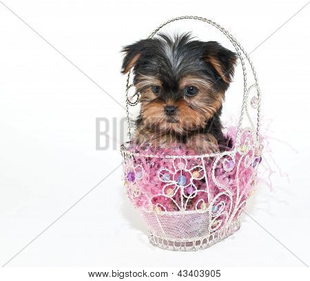 Easter Yorkie Puppy