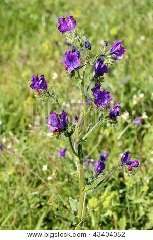 Echium Plantagineum, Commonly Known As Purple Viper's Bugloss Or Paterson's Curse