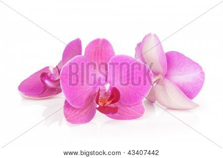 Three pink orchid flowers. Isolated on white background