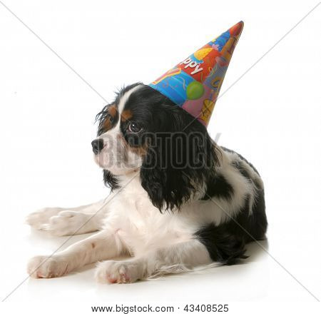 birthday dog - cavalier king charles spaniel wearing birthday hat isolated on white background