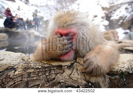 A Japanese Macaque, reacting exhausted due to all the papparazzi.
