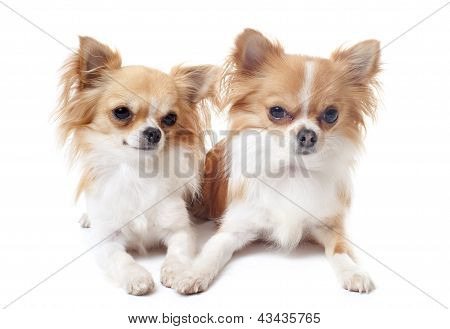 Couple Of Chihuahuas