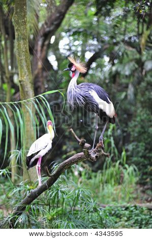African  Grey Crowned Crane And Yellow Stork