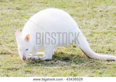 Albino Wallaby Eating
