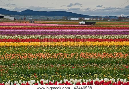 Rows Of Brilliant Tulips On Farmland