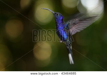Violet Sabrewing in flight hovering