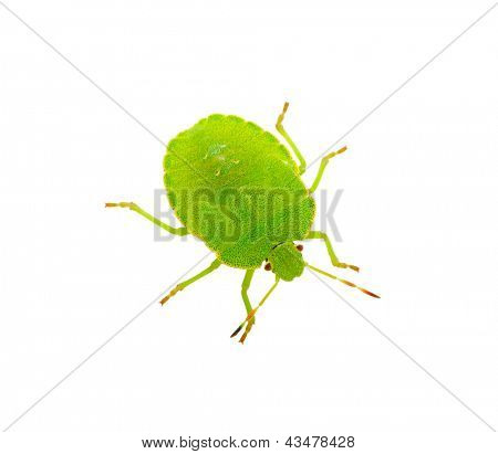 Green shield bug on white
