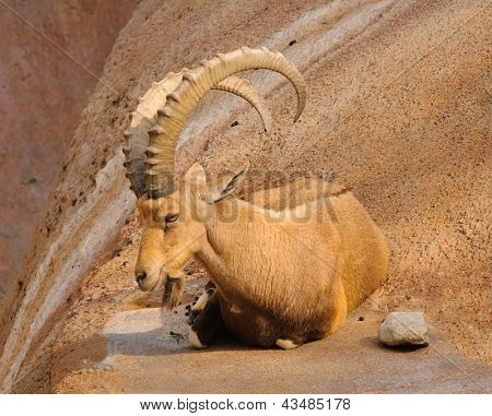 Scimitar horned Ibex at rest